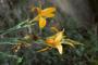 Cannaceae - Canna indica