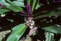 Commelinaceae - Tradescantia spathacea