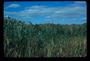 Poaceae - Phragmites australis