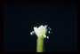 Hydrocharitaceae - Vallisneria americana