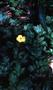 Ranunculaceae - Ranunculus repens