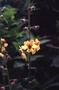 Scrophulariaceae - Verbascum blattaria