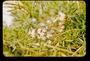 Asparagaceae - Asparagus densiflorus