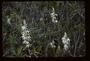 Orchidaceae - Phaius tankervilleae