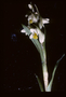 Orchidaceae - Zeuxine strateumatica