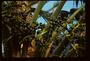 Arecaceae - Livistona chinensis