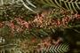 Anacardiaceae - Schinus molle