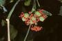 Euphorbiaceae - Jatropha podagrica