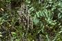 Fabaceae - Sophora tomentosa