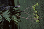 Sapindaceae - Sapindus saponaria