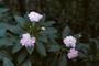 Balsaminaceae - Impatiens walleriana