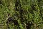 Bataceae - Batis maritima