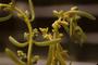 Batidaceae - Batis maritima