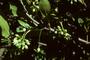 Celastraceae - Brexia madagascariensis