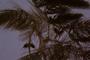 Ceratophyllaceae - Ceratophyllum demersum