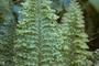 Lomariopsidaceae - Nephrolepis biserrata