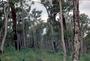 Myrtaceae - Eucalyptus marginata