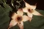 Apocynaceae - Stapelia gigantea