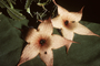 Asclepiadaceae - Stapelia gigantea