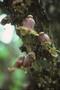 Bignoniaceae - Crescentia cujete