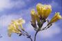 Bignoniaceae - Tabebuia aurea