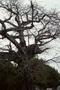 Malvaceae - Ceiba pentandra