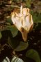 Malvaceae - Ochroma pyramidale