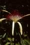 Malvaceae - Pachira aquatica