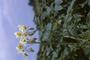 Solanaceae - Solanum tuberosum