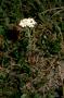 Asteraceae - Achillea millefolium var. borealis
