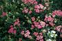 Asteraceae - Achillea millefolium var. occidentalis