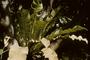Aspleniaceae - Asplenium nidus