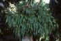 Polypodiaceae - Platycerium bifurcatum