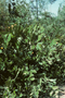 Cactaceae - Opuntia monacantha