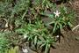 Campanulaceae - Hippobroma longiflora