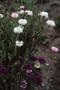Asteraceae - Centaurea cyanus