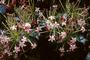 Combretaceae - Quisqualis indica