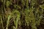 Lycopodiaceae - Lycopodiella cernua