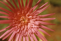 Asteraceae - Gerbera jamesonii