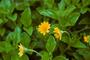 Asteraceae - Sphagneticola trilobata