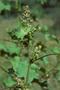 Asteraceae - Xanthium strumarium