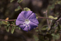 Convolvulaceae - Jacquemontia pentantha