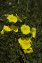 Convolvulaceae - Merremia umbellata