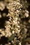 Convolvulaceae - Poranopsis paniculata