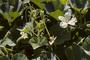 Cucurbitaceae - Lagenaria siceraria