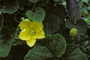 Cucurbitaceae - Benincasa hispida
