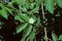 Muntingiaceae - Muntingia calabura