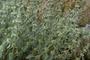 Lamiaceae - Marrubium vulgare