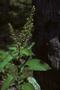 Lamiaceae - Ocimum gratissimum