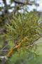 Santalaceae - Korthalsella complanata